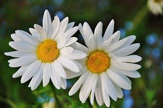 bunga-daisy23