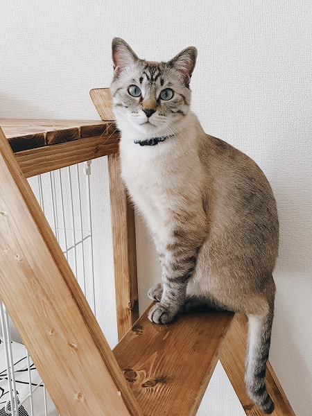 はしごのステップに座っているシャムトラ猫