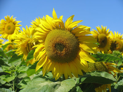 Loire Valley yellow sunflowers with blue sky background