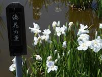 枚方市・市民の森(鏡伝池緑地)の花菖蒲