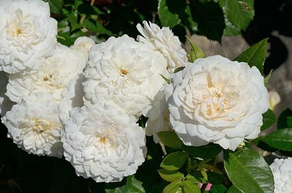 Nadine Xella-Ricci сорт розы фото купить саженцы Минск