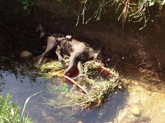 OPASNOST OD ZARAZE: Leševi životinja, fekalije i smeće plutaju vodonatapnim kanalom