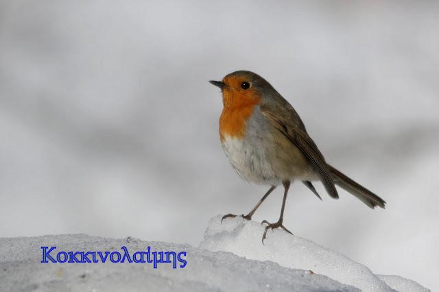 Φωτογράφιση πουλιών στα χιόνια