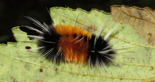 Lophocampa maculata, Spotted Tussock Moth