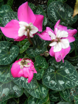 Allan Gardens Conservatory 2017 Christmas Flower Show Fleur En Vogue Purple Persian Cyclamen by garden muses-not another Toronto gardening blog