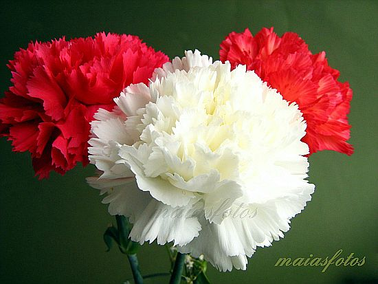 Carnations with positive symbolism red and white carnation flowers mightylinksfo