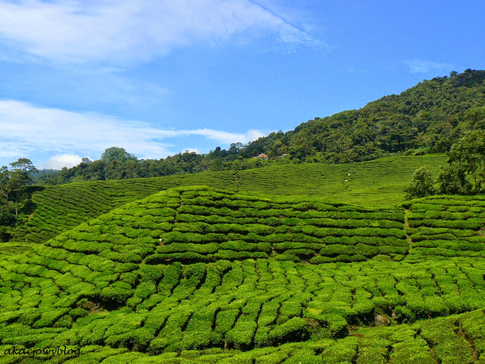 Herbata z Cameron Highlands w Malezji.