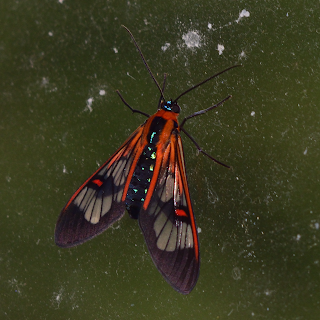 Red and Black Moth in Puriscal