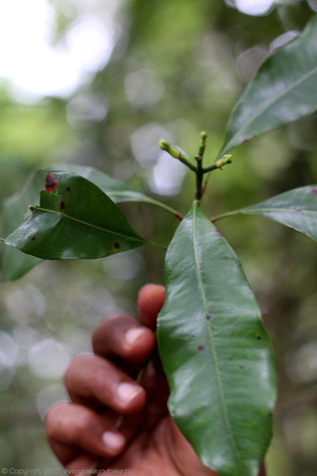 goździki - ogrody przypraw na Sri Lance
