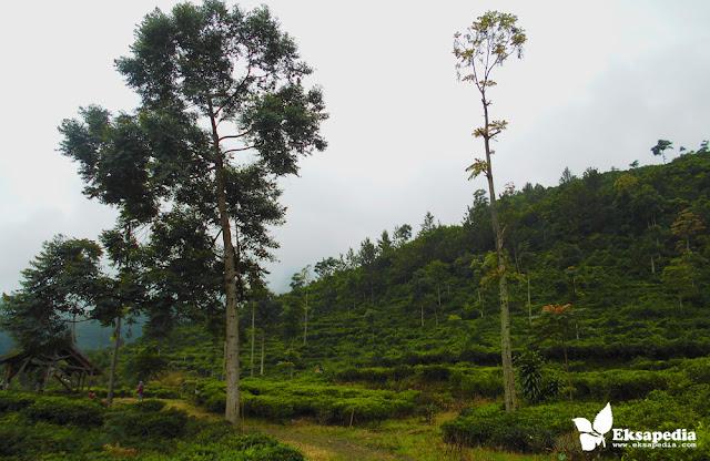 Kebun Teh Medini | Kendal