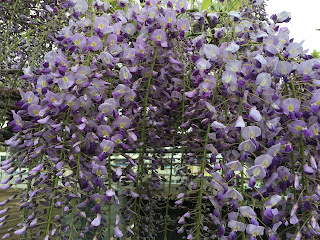 The light purple wisteria (fuji) flowering on a trellis