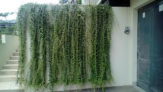 Jual Tanaman Hias Li Kuan Yu,Jual Pohon Lee Kwan Yew,Harga Tanaman Hias Li Kuan Yu,Jual Pohon Lee Kwan Yu Murah,Tukang Taman