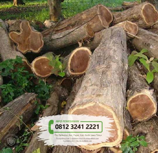 Jual Bibit Pohon Jati Mas