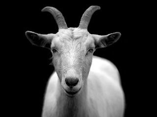 animal-black-and-white-royalty-free-goat