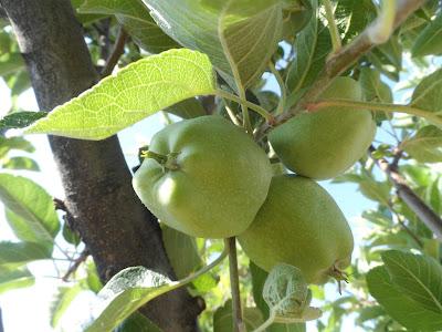 Yeni çıkan elmalar