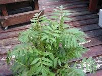 バレリアン(西洋鹿子草)の葉