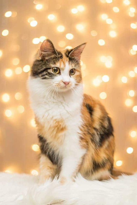 5 Facts About American Bobtail Cats You Have To Know