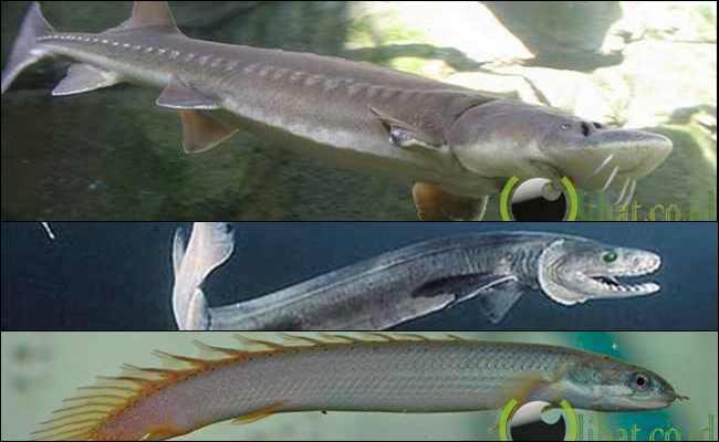 10 Ikan Purba yang masih Hidup sampai saat Ini