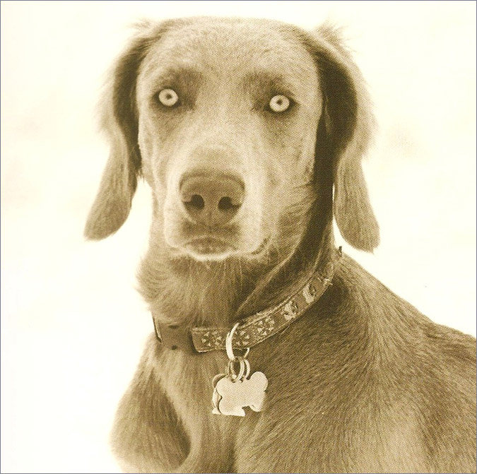 Notes from the Pack - a dog blog. A long-haired Weimaraner.