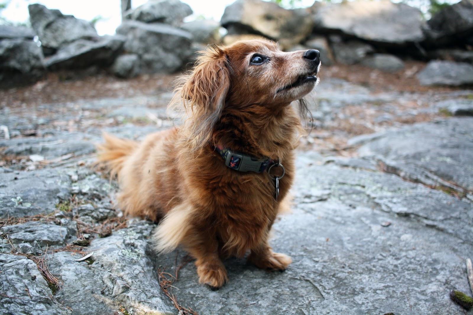miniature dachshund maine