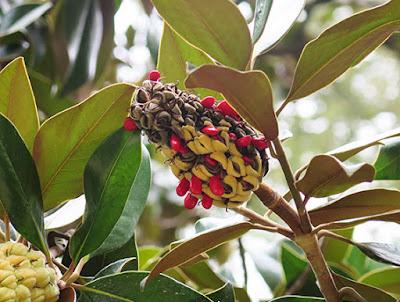 Fruto de magnolia