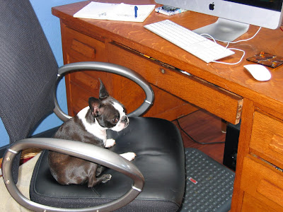 Sinead the Boston terrier working on a pet blog