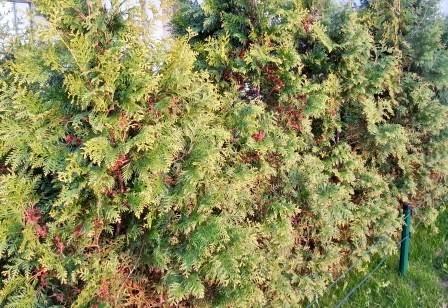 giftige Pflanzen-Thujen