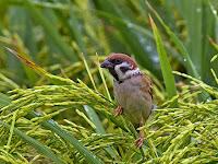 Inilah Cara - Cara Ampuh Mengusir Hama Burung Pada Sawah