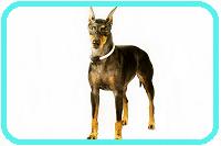 manchester- terrier