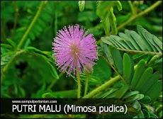 Putri malu (Mimosa pudica) gulma lahan pertanian dan perkebunan