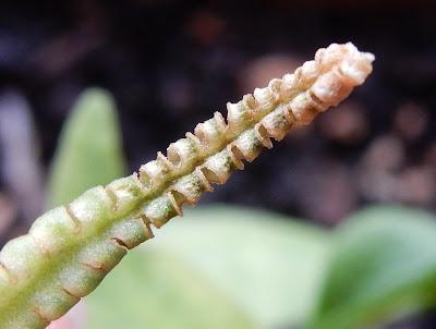 瓶爾小草枯萎的孢子囊枝