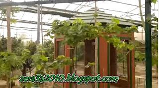 فيديو -- تقليم العنب