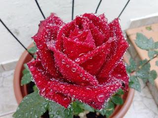 Gambar Bunga Mawar Merah Yang Cantik_Red Roses Flower 2006