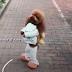 Anjing Di Pukul Supaya Berjalan Seperti Manusia?