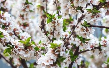 Wallpaper: Cherry Blossom 2015