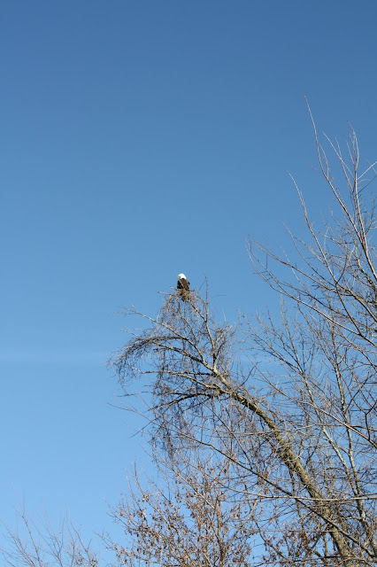 Bald eagle at Rock Cut State Park Illinois