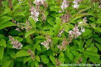 Lilak węgierski- Syringa josikaea