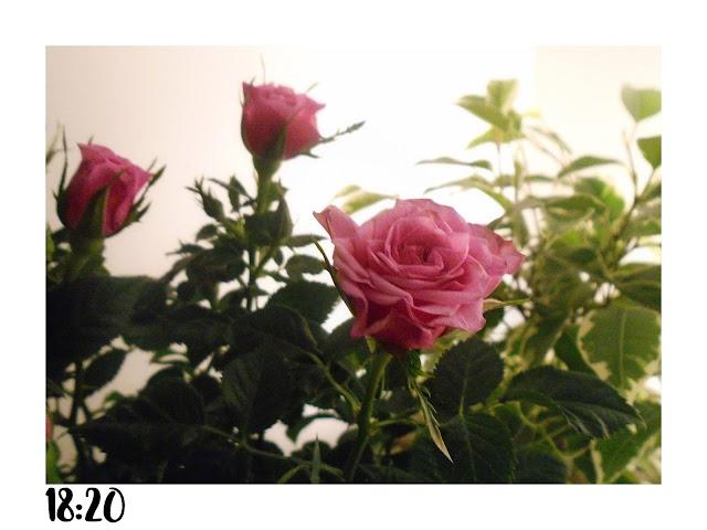 różowe małe różyczki na białym tle.