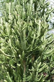Euphorbia lactea - Euphorbe lactée - Euphorbe cactus