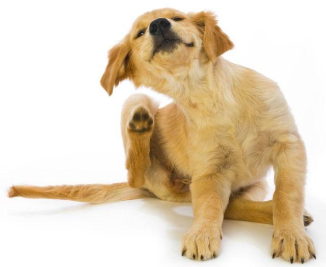 Cuidado perro labrador