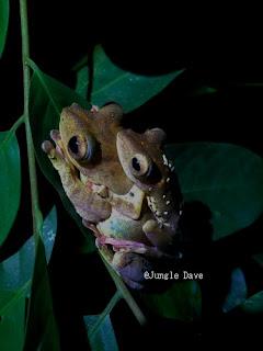 Harlequin Tree Frog ヒョウトビガエル