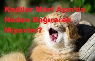 Kediler Mart Ayın'da Neden Bağırarak Miyavlar?