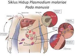 Siklus hidup Plasmodium malariae