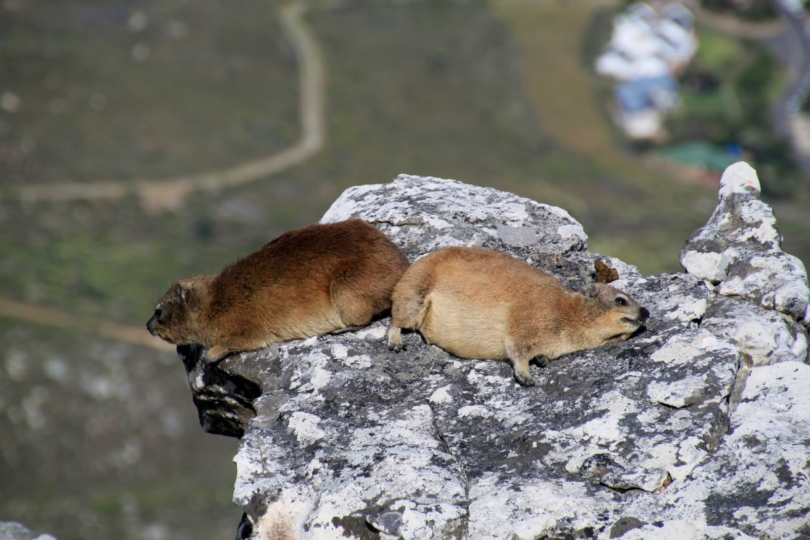 Picture of rock dassies sleeping on a table mountain.