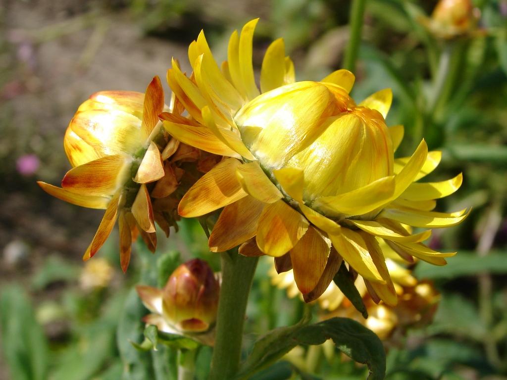 Một số hình ảnh về cây hoa bất tử: