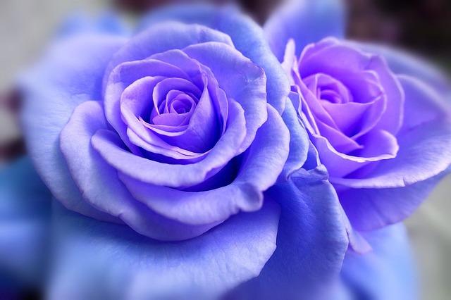 hoa hong xanh dep y nghia