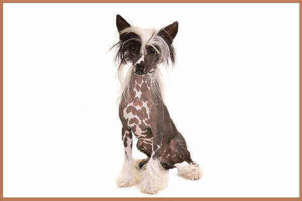 puppy dogs mix fever puppies for sale price dog breed lab mix ugly price  rescue powder puff puppies Chinese Crested