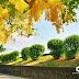 【台中旅遊景點】賞花趣!中投公路慢車道-黃金阿勃勒開滿了。