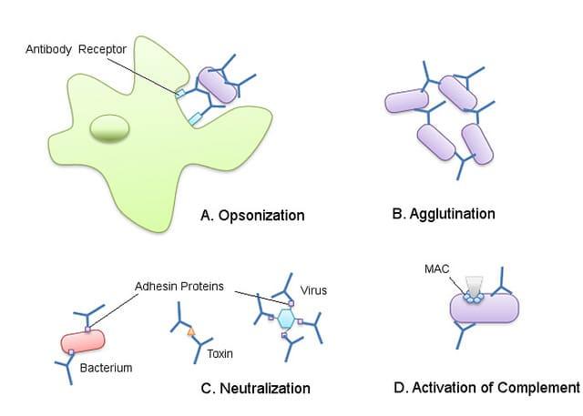 Membentuk Antibodi Bagi Janin Dan Bunda