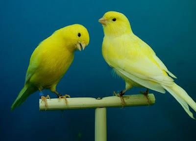 ciri-ciri burung kenari f1